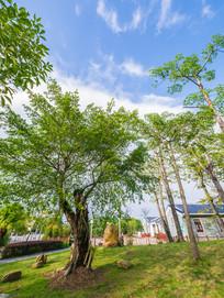 农工林的树木