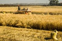 收割水稻图片