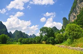 金色的稻田风景