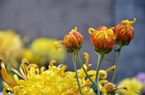 亭亭玉立的菊花花蕾
