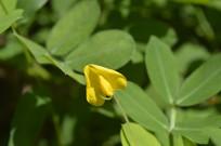 小黄花蔓花生