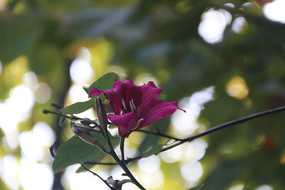 虚光下的紫金花