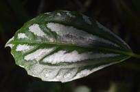 有白斑的花叶冷水花叶子