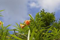 有毒植物红酒杯花