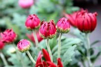 灿烂绽放的菊花