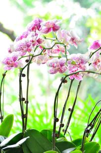 粉色蝴蝶兰花草