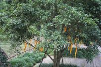 杭州六和塔许愿树全景