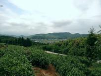 红枫山韵茶场
