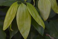 黄绿色叶子树叶