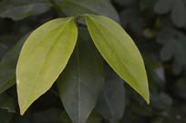 黄绿色叶子特写