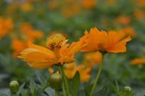 两朵黄花波斯菊