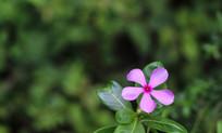 绿色背景的粉色花