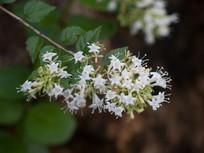 糯米条开满白色上花