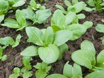 瓢儿菜种植