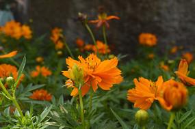 墙边盛开的黄秋英花朵