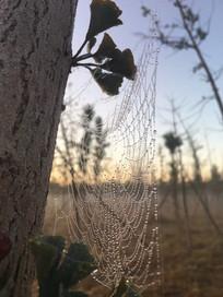 清晨树林的蜘蛛网