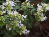 忍冬科植物糯米条