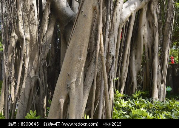 榕树树冠树根树干