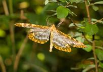 停歇在树叶上的巨豹纹尺蛾