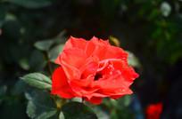 鲜艳的红月季