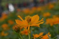 一朵黄花波斯菊