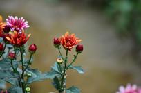 一株含苞的菊花花骨朵