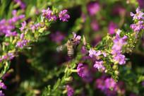 正在扑打翅膀采蜜的蜜蜂