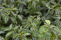 观叶植物花叶冷水花