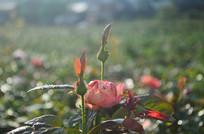含苞的玫瑰花花骨朵