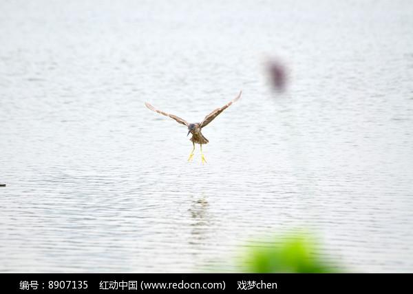 湖上飞翔的鹭鸟图片