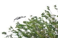 空中飞翔的灰鹭鸟
