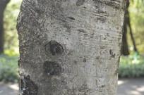 腊肠树树干特写