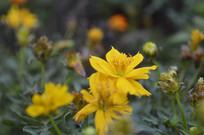硫华菊黄秋英花朵植株
