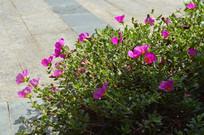 路边的大花马齿苋花丛