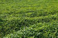 绿色有机茶园