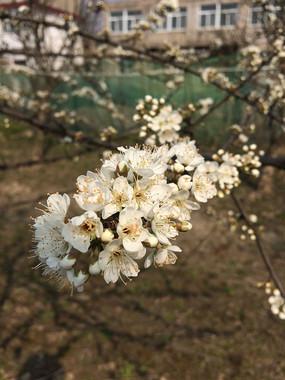 实拍一枝盛开的桃花