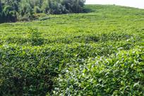 有机绿茶园