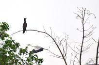 枝头上的黑鹭鸟