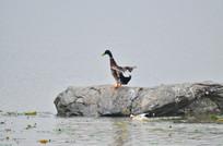 中大石头上的野鸭子