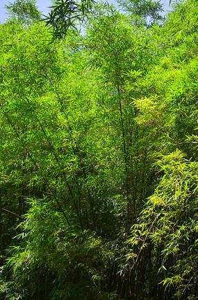 翠竹竹林风景