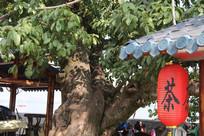 大榕树下的茶棚