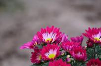 粉红的菊花
