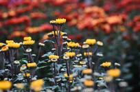含苞的菊花花骨朵