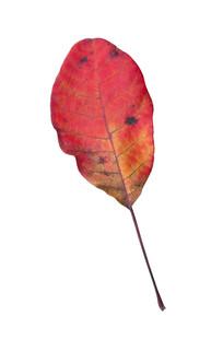 红叶的抠图素材