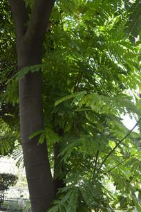 猴耳环树木