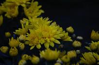 黄色菊花花卉图片