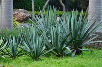 剑叶花草植物