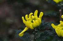 菊花花卉图片