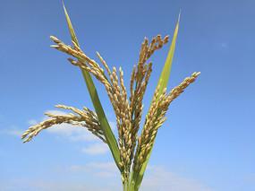 蓝天下的稻谷