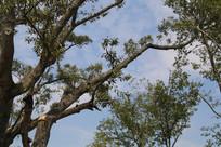 蓝天下的榕树树干